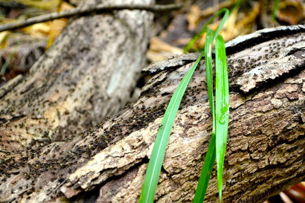Ameisen auf Insel Pulau Babi Besar