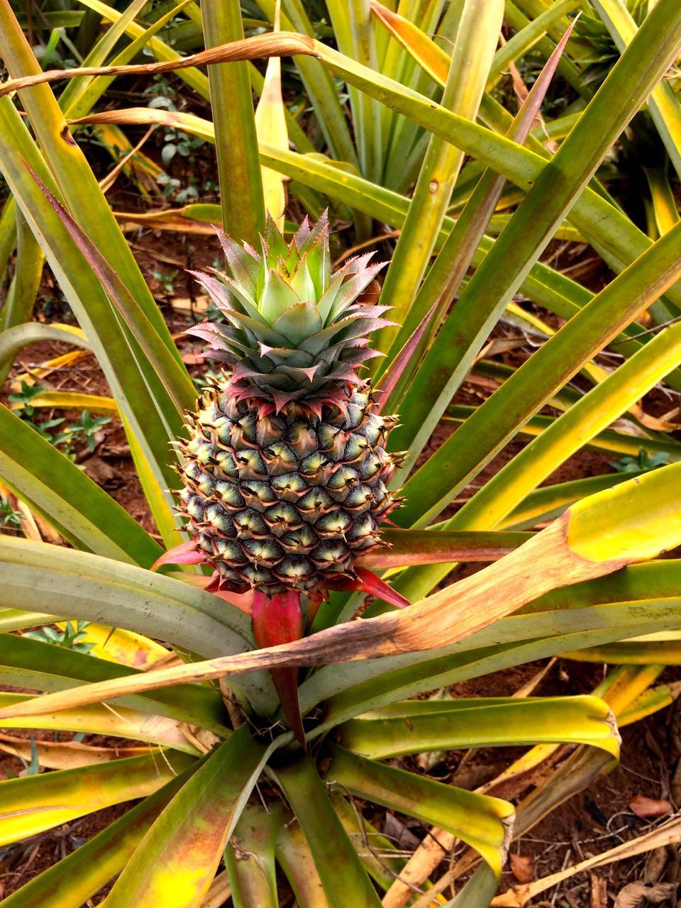 Ananas Uganda Frucht