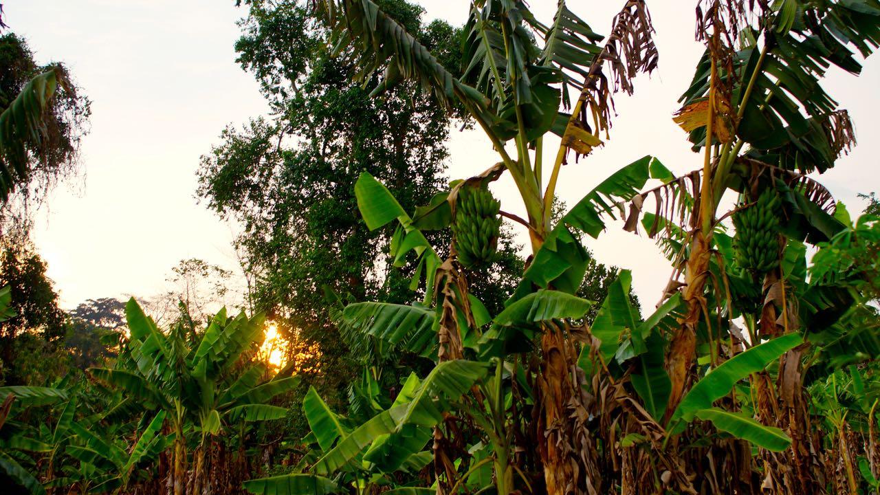 Bananen-Uganda-Uganda
