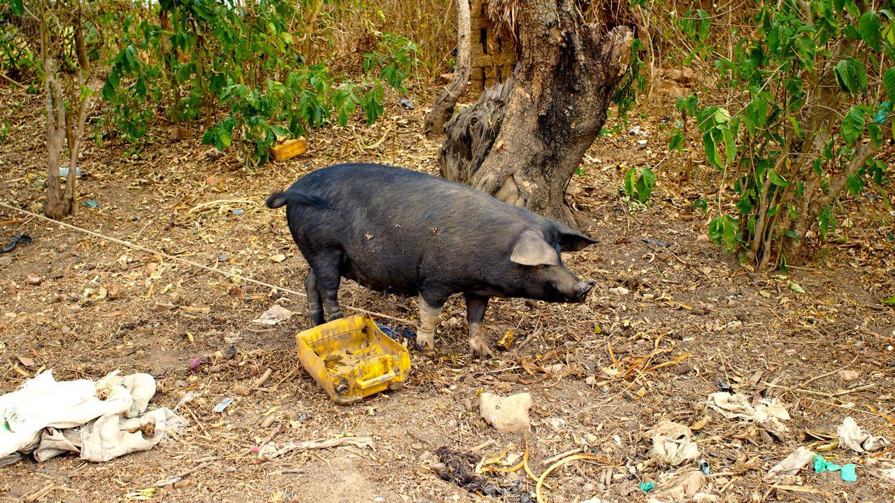 Schwein in Uganda. Oft wird Schwein oder Park gegessen.