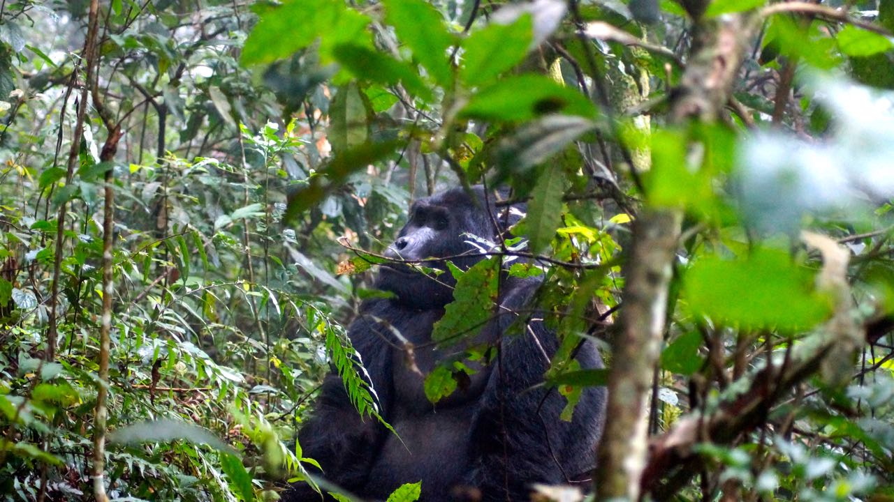 gorilla_trekking_bwindi_nationalpark_uganda_gorillas08
