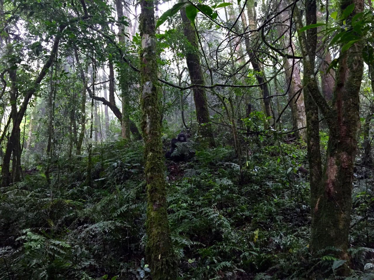 gorilla_trekking_bwindi_nationalpark_uganda_gorillas11