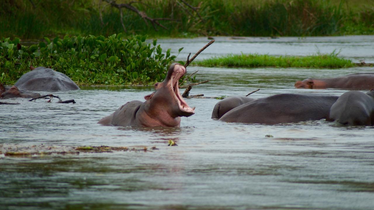 Gaehnendes-Nilpferd-Uganda