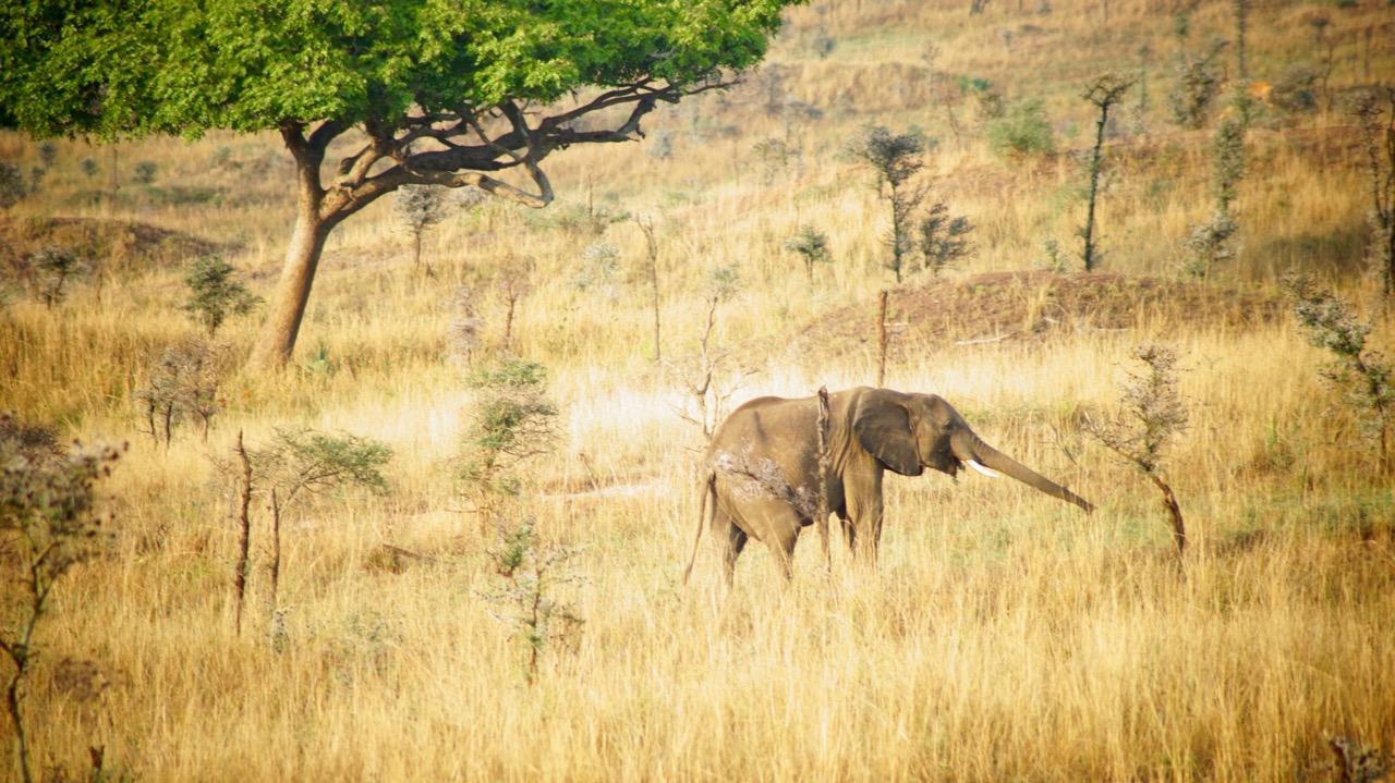 Murchison-Falls-Nationalpark-Elefant