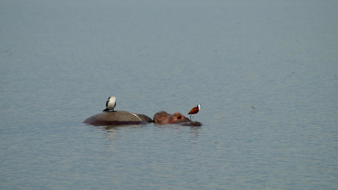 Murchison-Falls-Nationalpark-Flusspferde-mit-Vögel