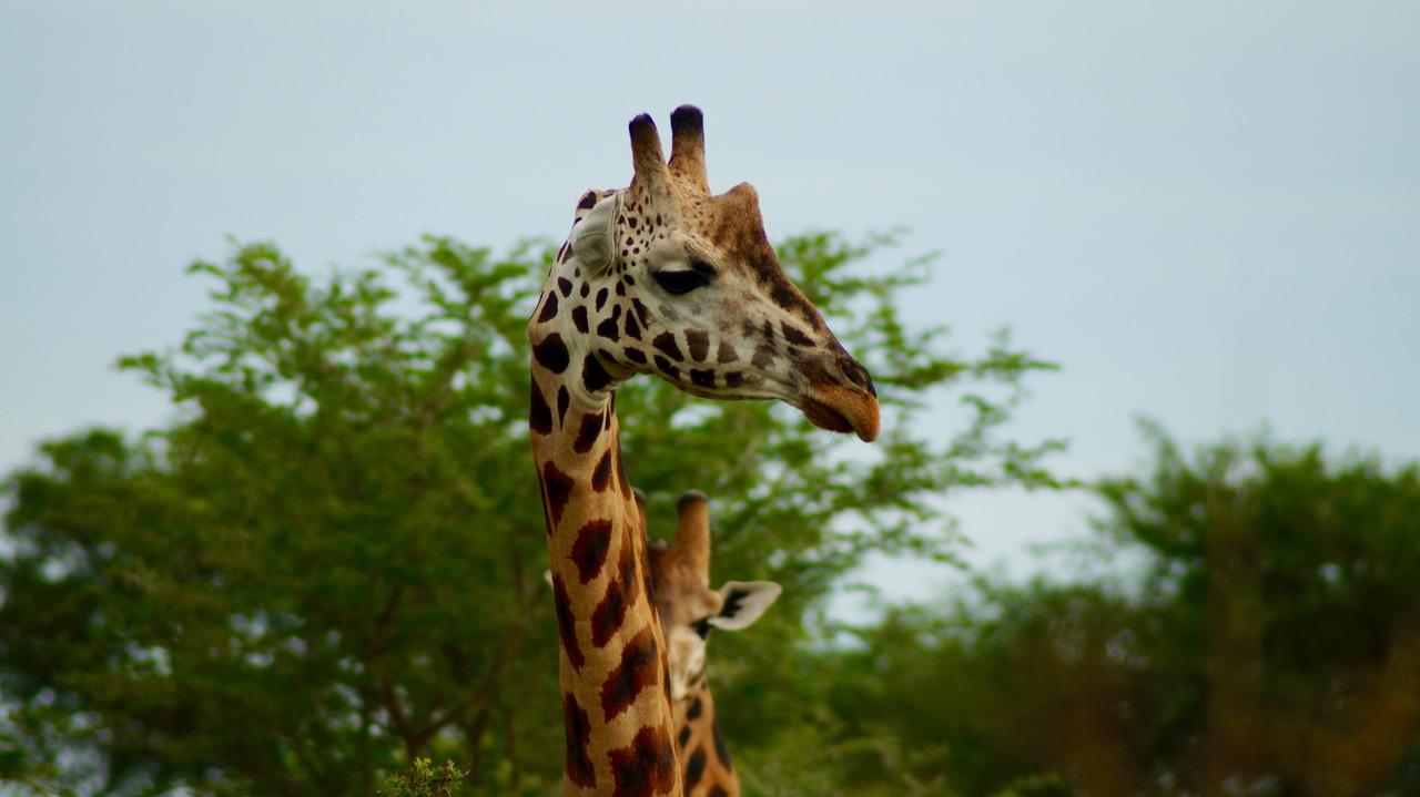 Rotschild-Giraffe-Uganda