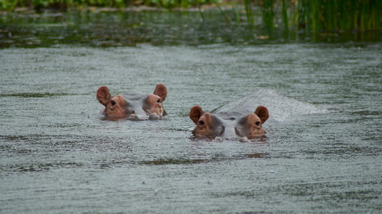 Uganda-Nilpferd