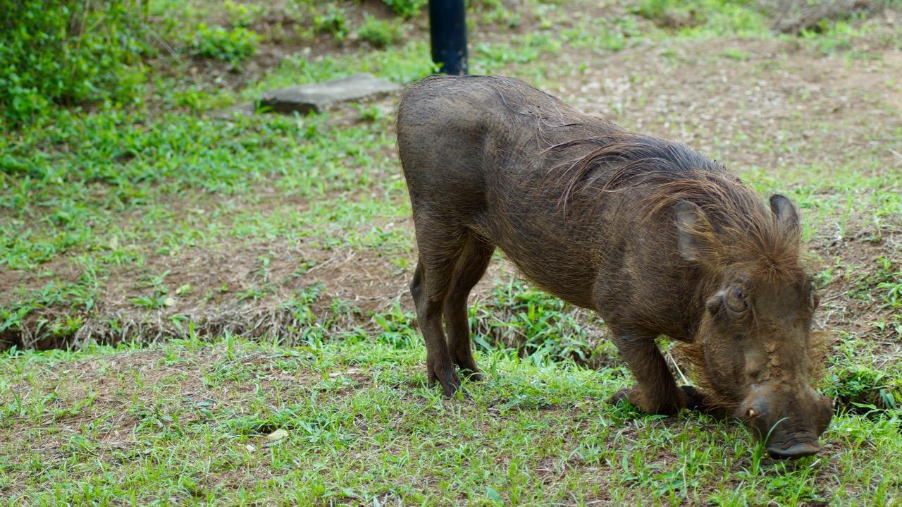 Wildschwein-Uganda