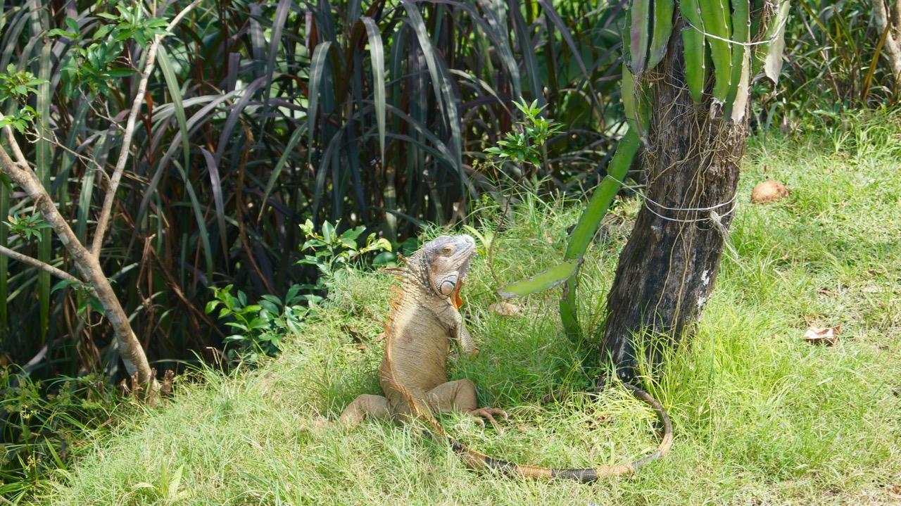 Grüner Leguan Costa Rica