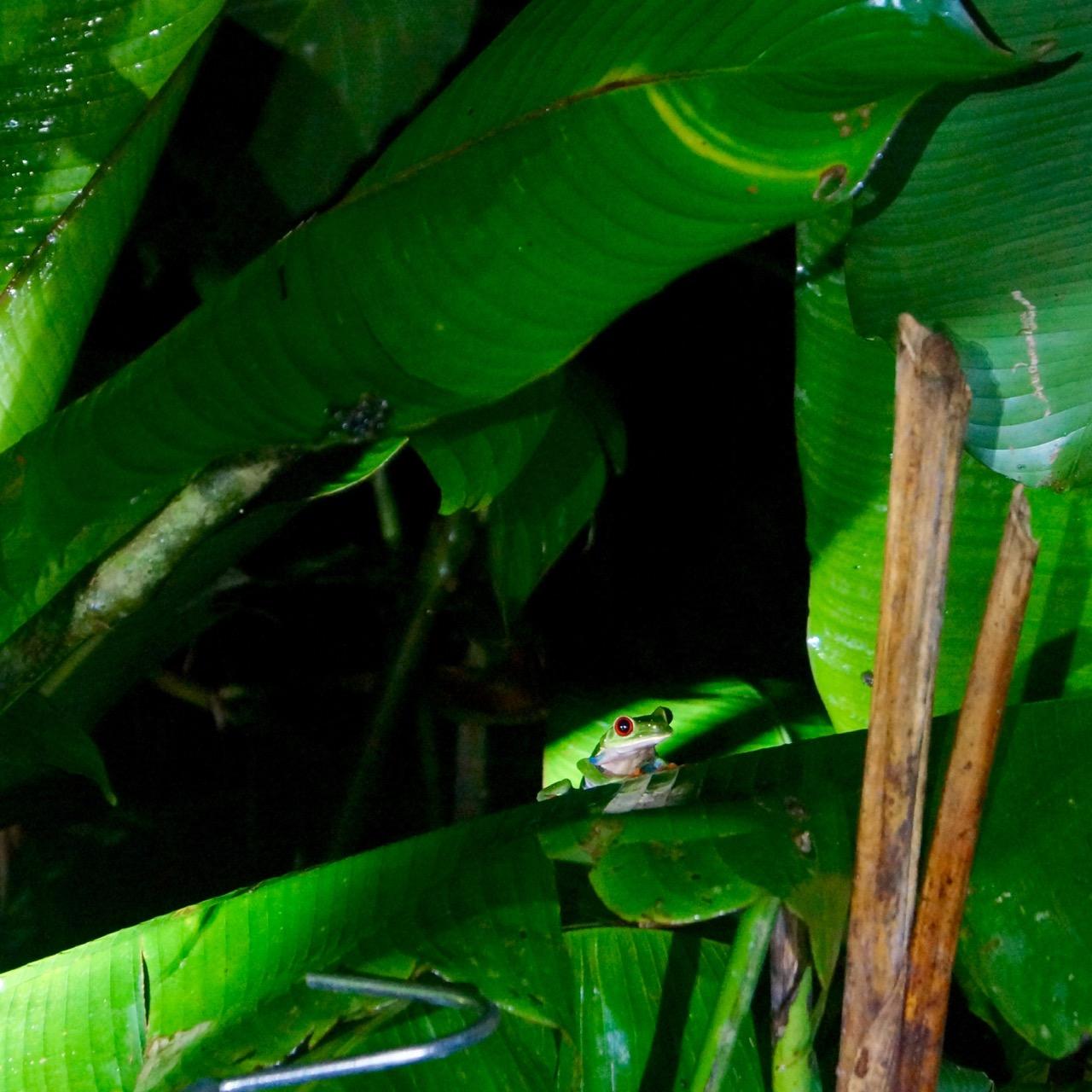 Rotaugenlaubfrosch Costa Rica-weiblich