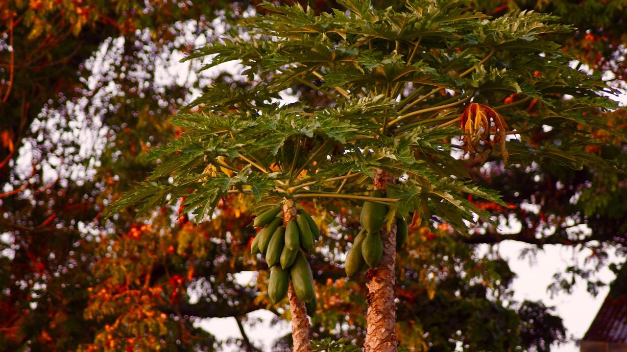 Papaya_Uganda