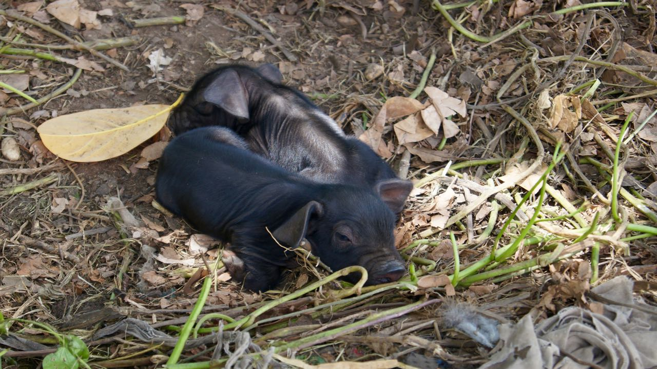 Schweinebabys
