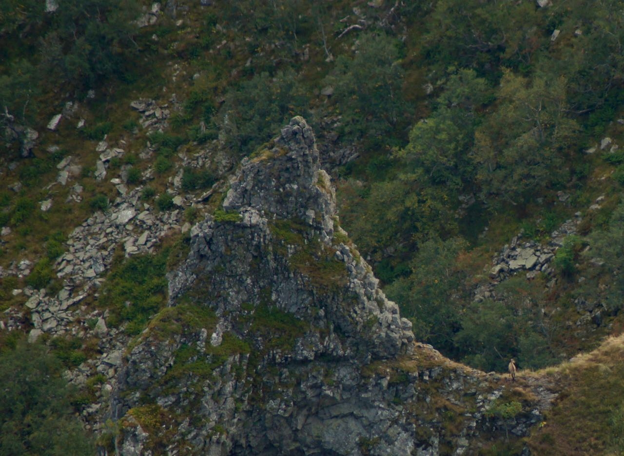 aubergne-bergziege