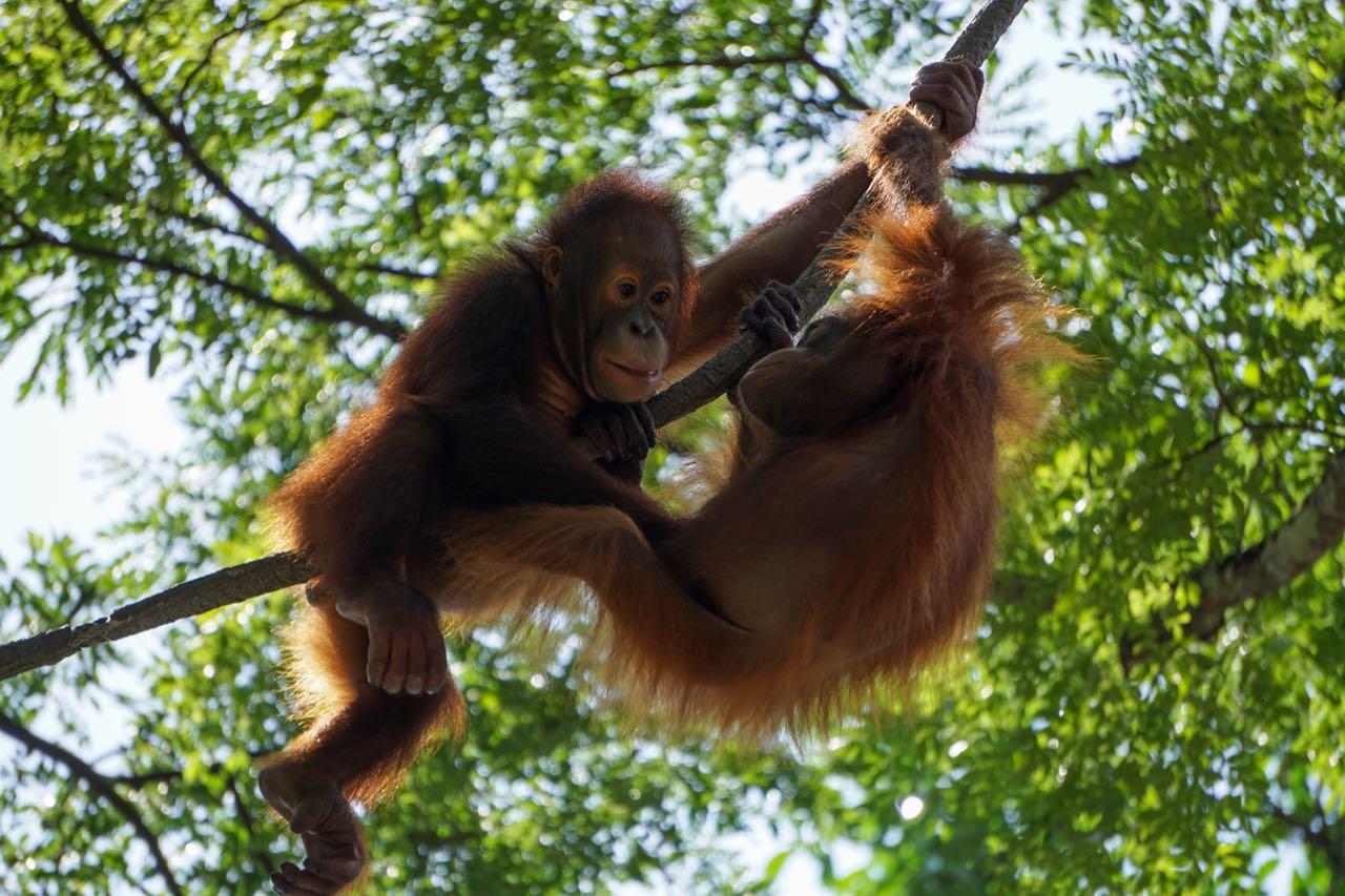 Orang-Utans Sumatra