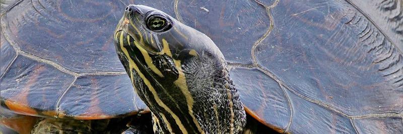 Schildkröte am Strandbad Jungfernheide