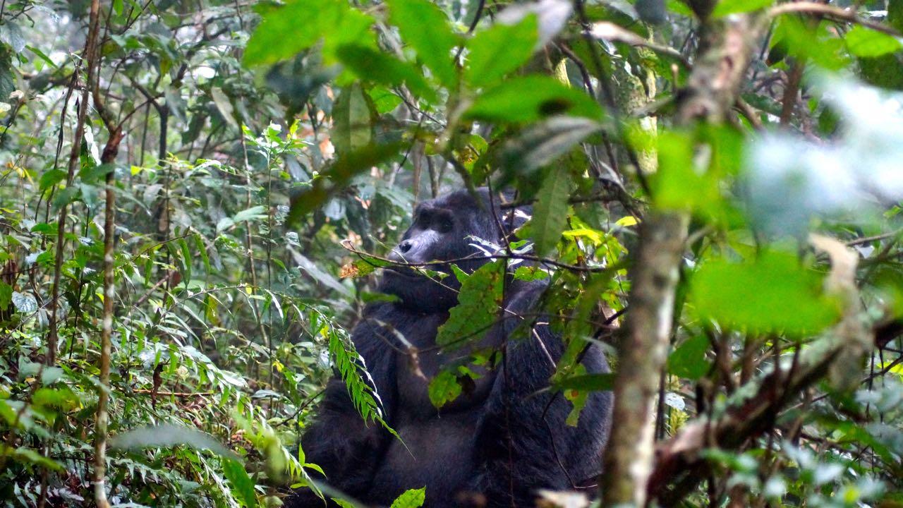 Silberrücken Bwindi Nationalpark