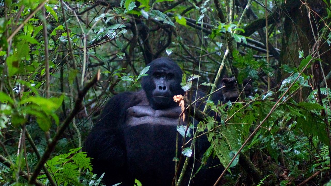 Gorilla Bwindi Nationalpark