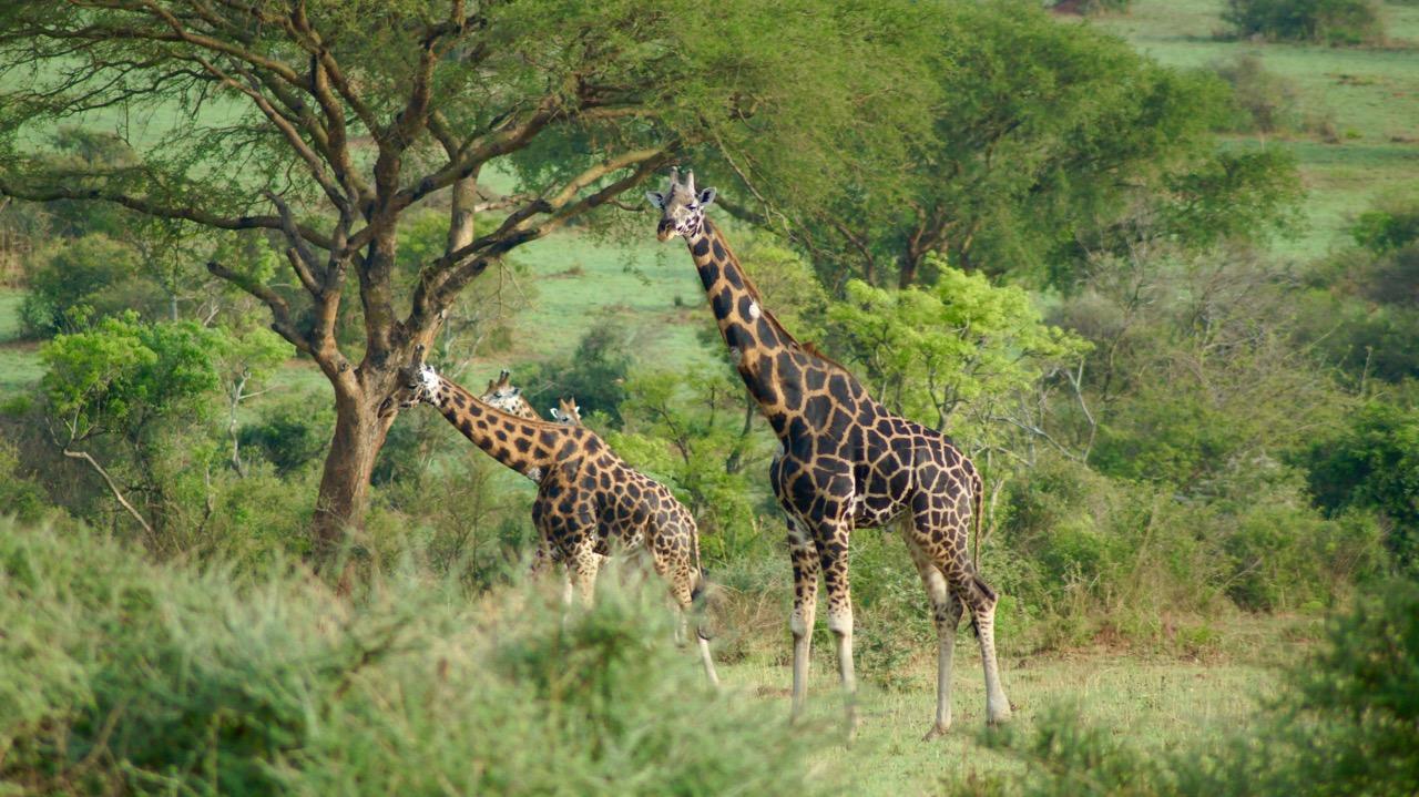 Rotschild-Giraffen