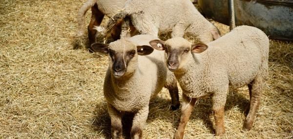 Gut Schmerwitz Schafe