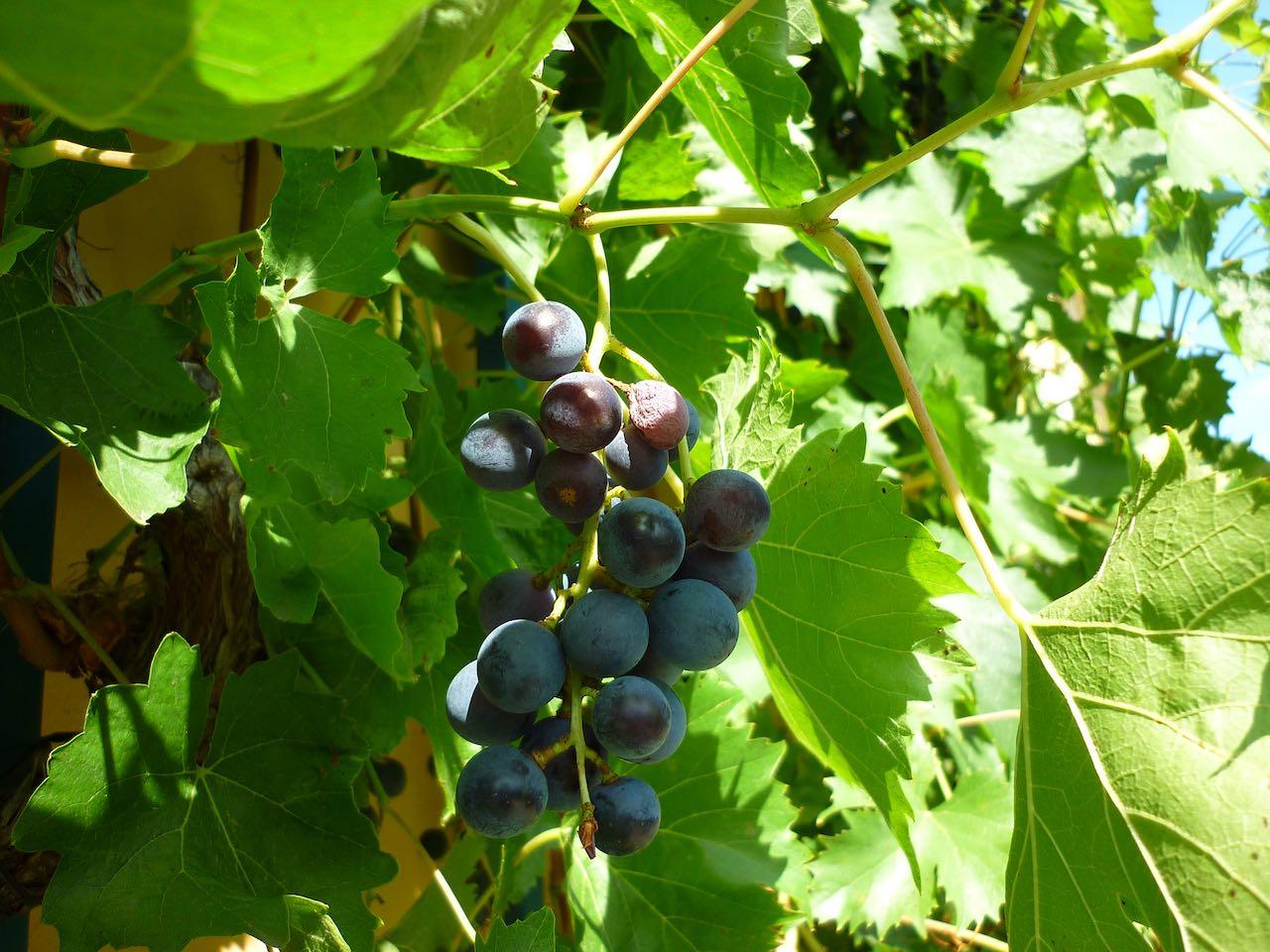 Wein-auf-SaechsischeWeinstrasse